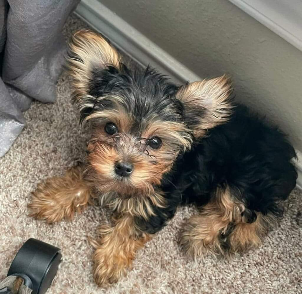 Yorkies puppies advailable for rehoming